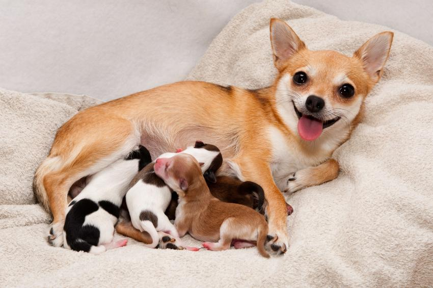 https://cf.ltkcdn.net/dogs/images/slide/90463-850x565-Mom_with_litter.jpg