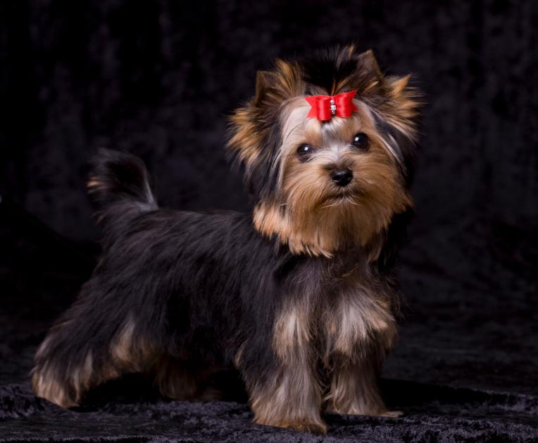 https://cf.ltkcdn.net/dogs/images/slide/90472-764x628-Sweet_Yorkie_pup.jpg
