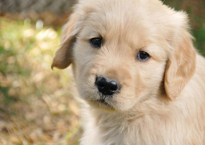 https://cf.ltkcdn.net/dogs/images/slide/90473-822x584-Golden_pup_closeup.jpg