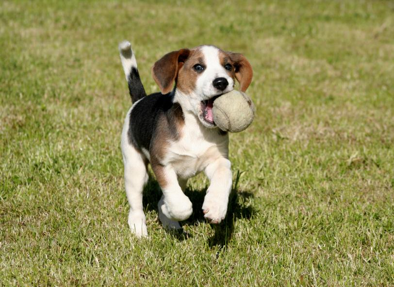 https://cf.ltkcdn.net/dogs/images/slide/90475-812x591-Beagle_pup_fetching.jpg