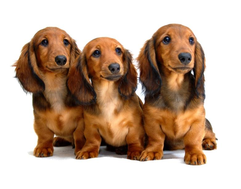 https://cf.ltkcdn.net/dogs/images/slide/90477-782x614-Doxie_pup_trio.jpg
