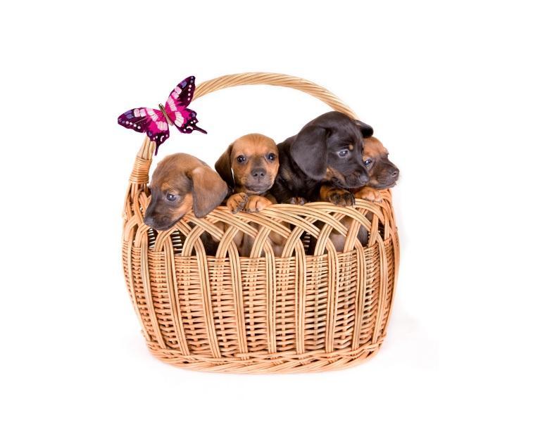 https://cf.ltkcdn.net/dogs/images/slide/90516-757x634-cho-butterfly-puppies.jpg