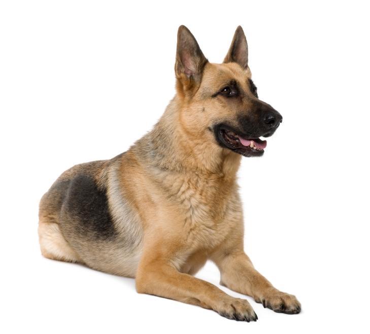 https://cf.ltkcdn.net/dogs/images/slide/90525-729x658-German_Shepherd.JPG