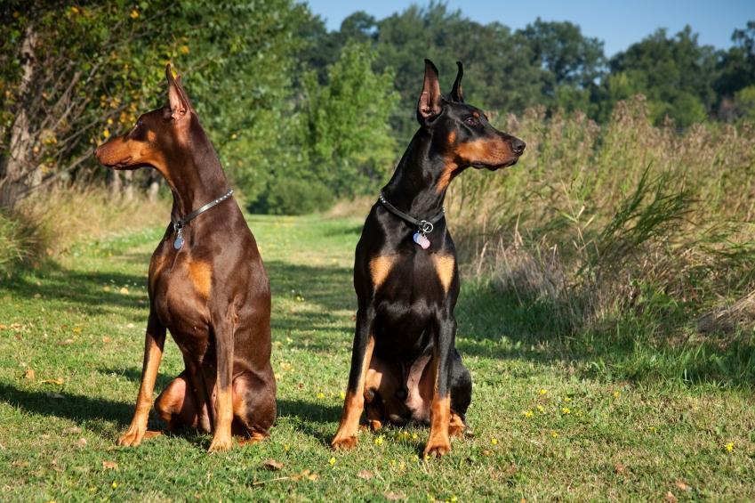 https://cf.ltkcdn.net/dogs/images/slide/90527-849x565-Doberman_Pinscher.JPG