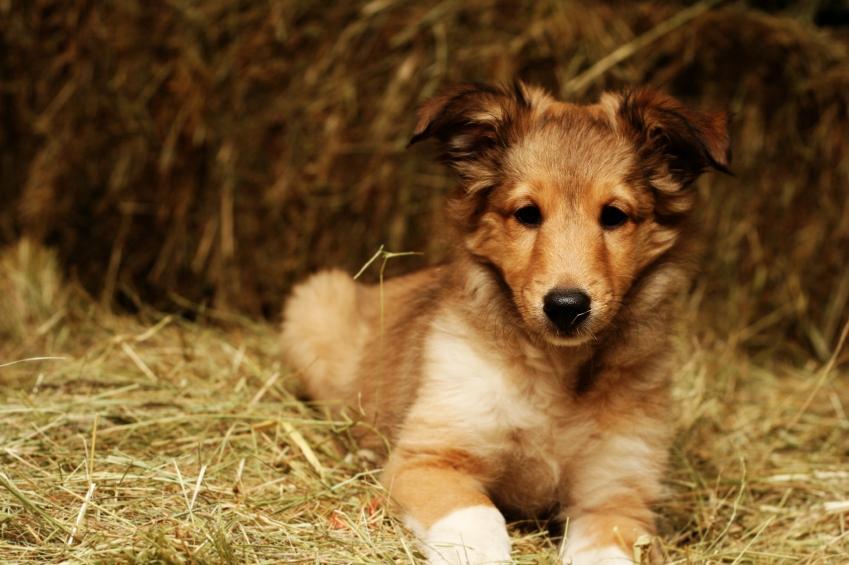 https://cf.ltkcdn.net/dogs/images/slide/90528-849x565-Shetland_Sheep_Dog.JPG
