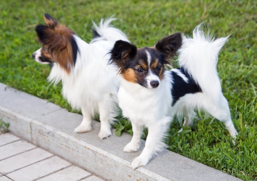 https://cf.ltkcdn.net/dogs/images/slide/90530-826x581-Papillon.JPG