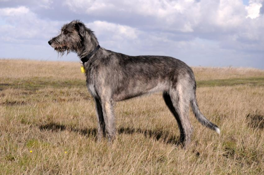 https://cf.ltkcdn.net/dogs/images/slide/90539-850x563-Irish_Wolfhound_Outside.JPG