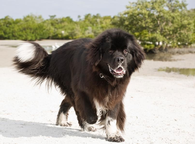 https://cf.ltkcdn.net/dogs/images/slide/90542-807x595-Newfoundland.JPG