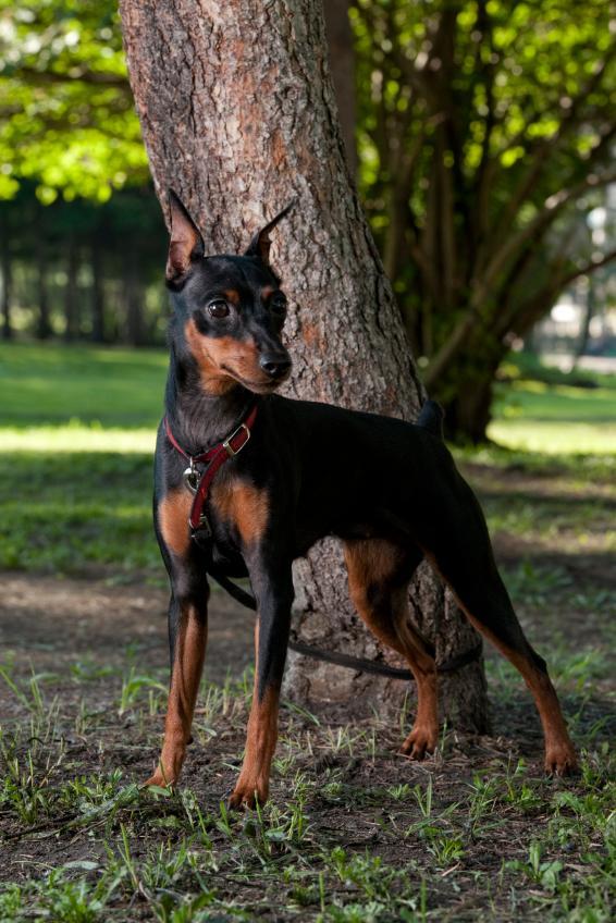 https://cf.ltkcdn.net/dogs/images/slide/90591-566x848-Min_Pin_in_the_park.jpg