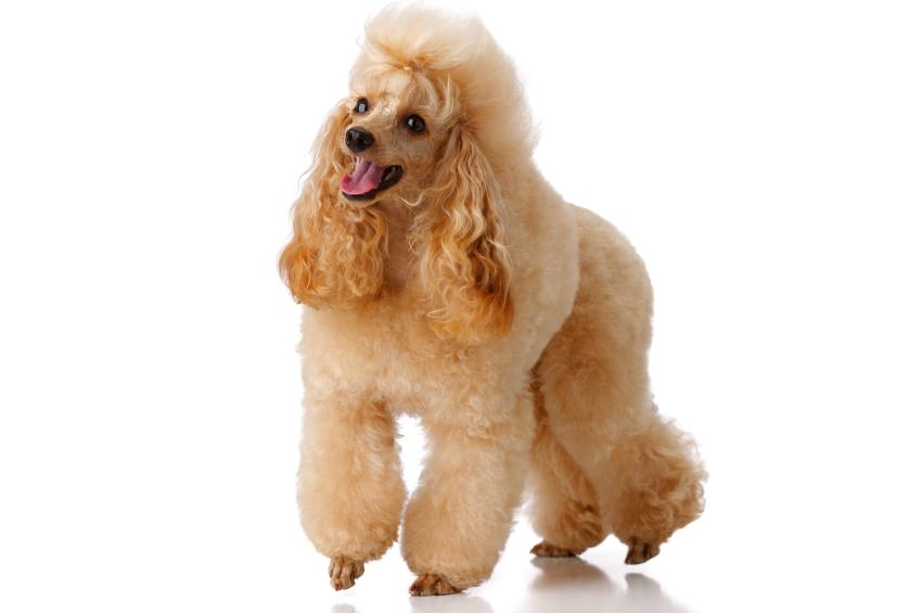 https://cf.ltkcdn.net/dogs/images/slide/90592-849x565-Apricot_Mini_Poodle.jpg