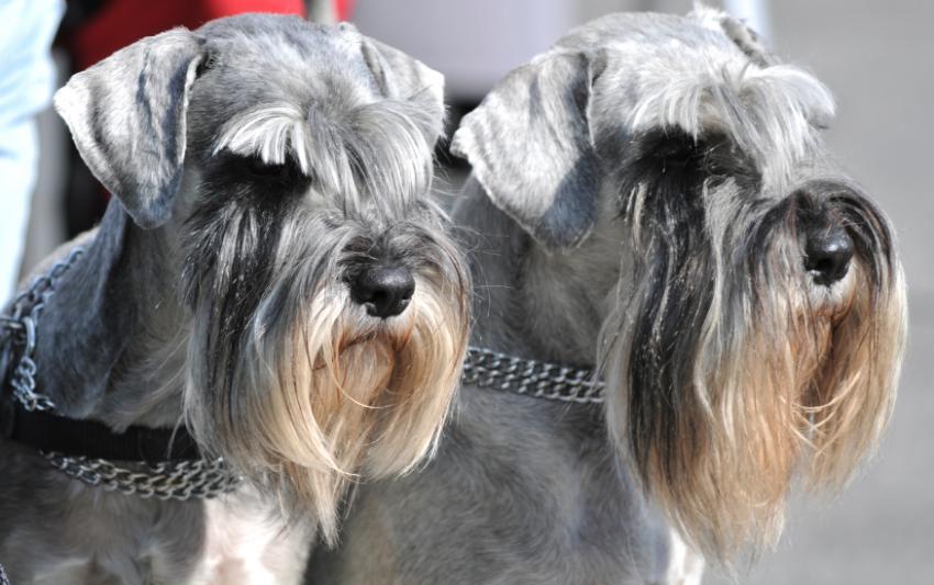 https://cf.ltkcdn.net/dogs/images/slide/90593-850x533-Miniature_Schnauzer.jpg