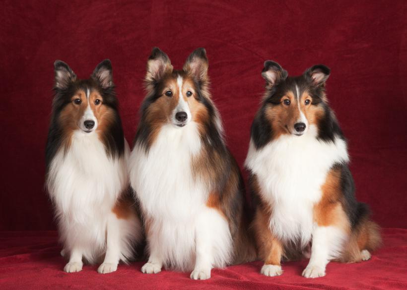 https://cf.ltkcdn.net/dogs/images/slide/90595-820x585-Three_Shelties.jpg