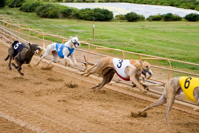 https://cf.ltkcdn.net/dogs/images/slide/90599-849x565-Greyhounds_racing.jpg