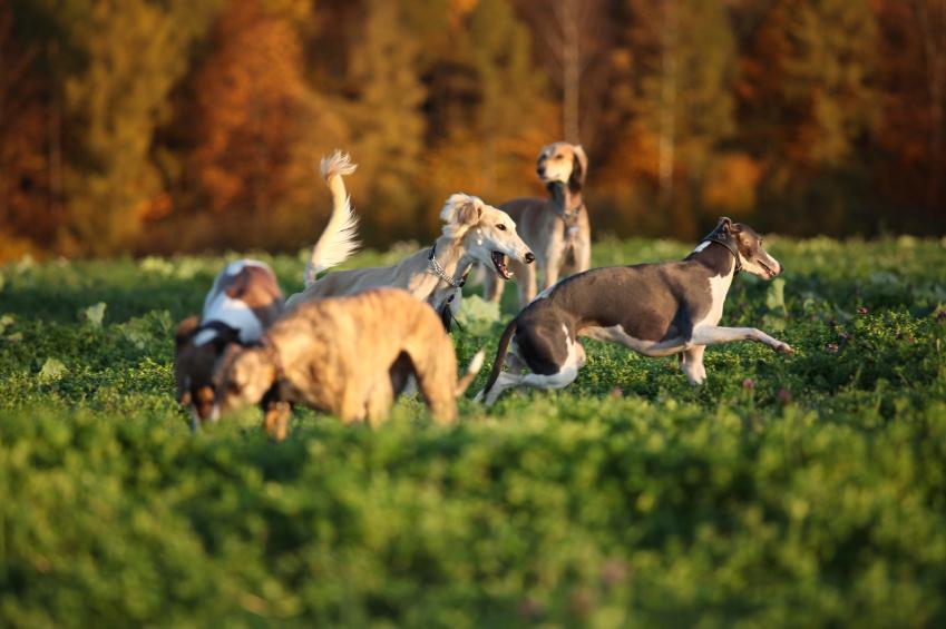 https://cf.ltkcdn.net/dogs/images/slide/90605-849x565-Playful_Greyhounds.jpg
