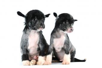 https://cf.ltkcdn.net/dogs/images/slide/127017-850x563r1-Two-Crested-pups.jpg