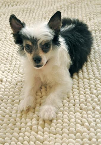 https://cf.ltkcdn.net/dogs/images/slide/127018-580x828r1-Powder-Puff-Crested-pup.jpg