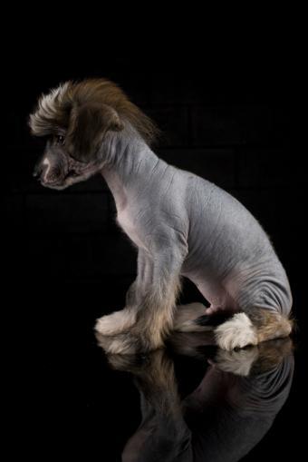 https://cf.ltkcdn.net/dogs/images/slide/127019-566x848r1-Gray-Crested-pup.jpg