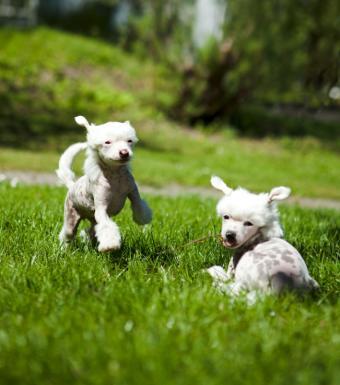 https://cf.ltkcdn.net/dogs/images/slide/127020-651x737r1-Playful-Crested-pups.jpg