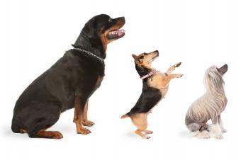 https://cf.ltkcdn.net/dogs/images/slide/137489-849x565r1-Rottie-fact-2.jpg