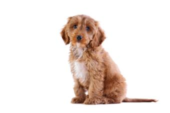 9 Most Popular Mixed Breed Dogs Ever