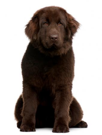 10-month-old Newfie pup