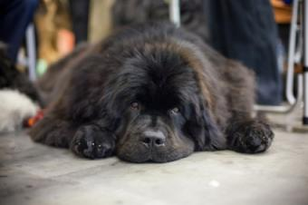 Newfie enjoying some down time