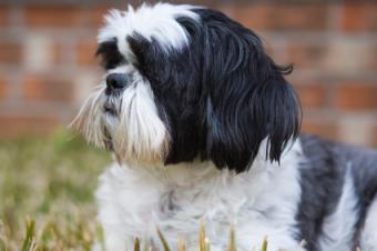 Shih Tzu in a puppy clip
