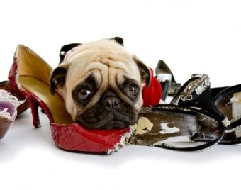 Guilty Pug with chewed shoes
