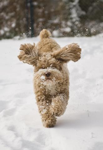 Cockapoo running in snow