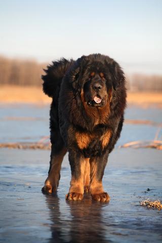Black and tan Tibetan Mastiff; Copyright Sunheyy at Dreamstime.com