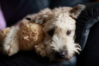 Wheaten pup with his Teddy