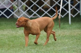 Dogue de Bordeaux being gaited around the ring