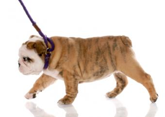 Training puppy to walk on lead
