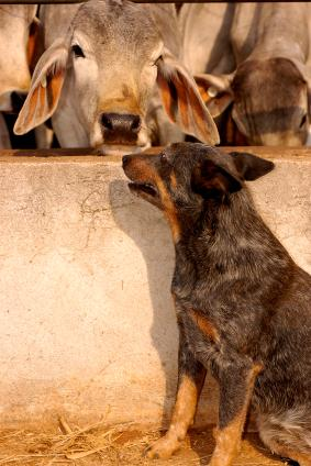 Cattle Dog at work