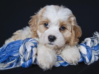 Apricot and White Cavachon Pup