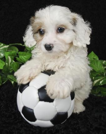 Cavachon pup with a ball
