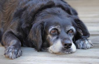 7 Signs a Dog May Have Dementia