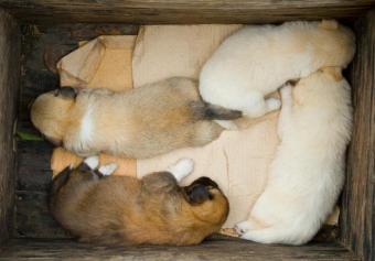 https://cf.ltkcdn.net/dogs/images/slide/179226-829x579-Puppies-in-a-wooden-box-horiz.jpg