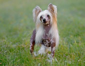 https://cf.ltkcdn.net/dogs/images/slide/187977-850x660-chinese-crested-dog.jpg
