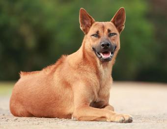 https://cf.ltkcdn.net/dogs/images/slide/187979-850x660-thai-ridgeback.jpg