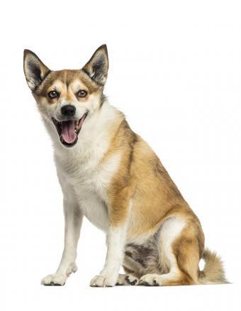 https://cf.ltkcdn.net/dogs/images/slide/187980-660x850-norwegian-lundehund.jpg