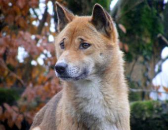 https://cf.ltkcdn.net/dogs/images/slide/187982-850x660-new-guinea-singing-dog.jpg
