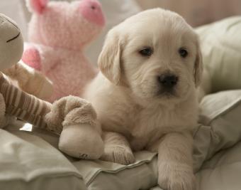 https://cf.ltkcdn.net/dogs/images/slide/188867-850x668-golden-retriever.jpg