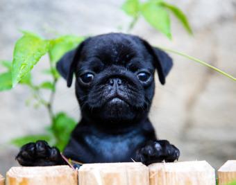 https://cf.ltkcdn.net/dogs/images/slide/188868-850x668-pug-puppy.jpg
