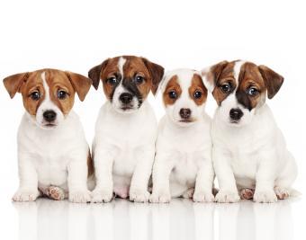 https://cf.ltkcdn.net/dogs/images/slide/188869-850x668-jack-russell-terrier.jpg
