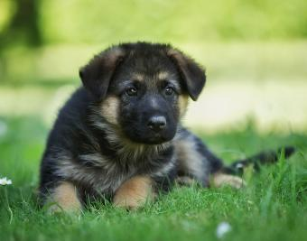 https://cf.ltkcdn.net/dogs/images/slide/188870-850x668-german-shepherd.jpg