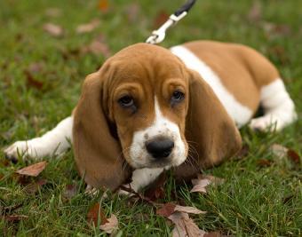 https://cf.ltkcdn.net/dogs/images/slide/188871-850x668-bassett-hound.jpg