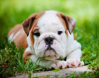 https://cf.ltkcdn.net/dogs/images/slide/188873-850x668-english-bulldog.jpg
