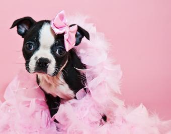 https://cf.ltkcdn.net/dogs/images/slide/188875-850x668-boston-terrier.jpg