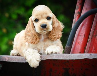 https://cf.ltkcdn.net/dogs/images/slide/188877-850x668-cocker-spaniel.jpg